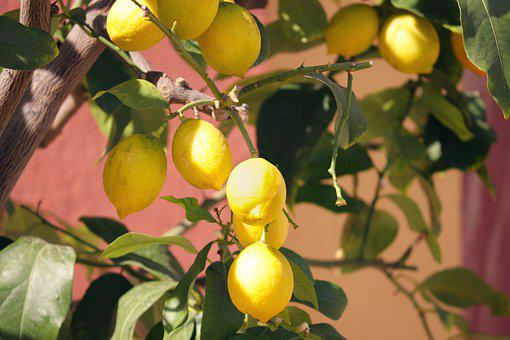 Lemons, Yellow, Lemon Tree, Fresh