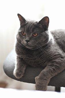 Cat, British Shorthair, Grey, Pedigreed Cat, Pets
