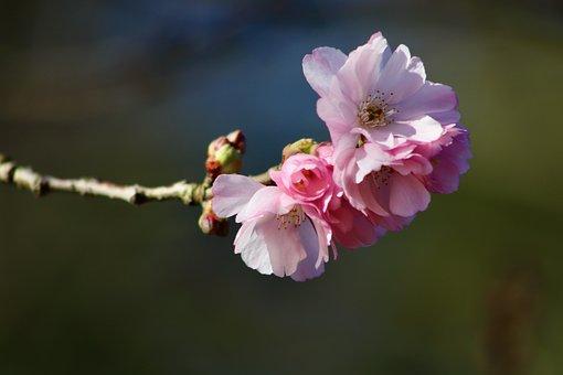 Spring Cherry, Higankirsche