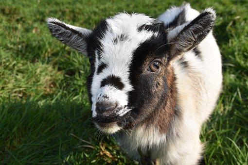 Goat, Baby Goat, Kid, Ibex, Horn, Herbivore, Prairie