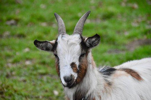Goat, Portrait Pet Goat, Young Goat, Kid, Ibex