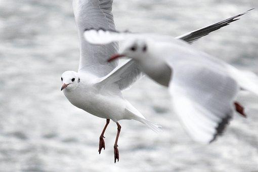 Seagull, Bird, Plumage, Feather, Bill, Water, Lake, Sea