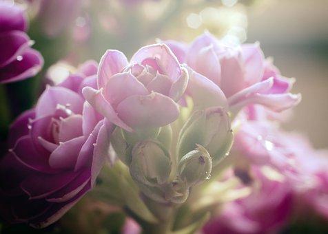 Kalanchor, Flower, Macro, Olympus Camera, Pink, Light