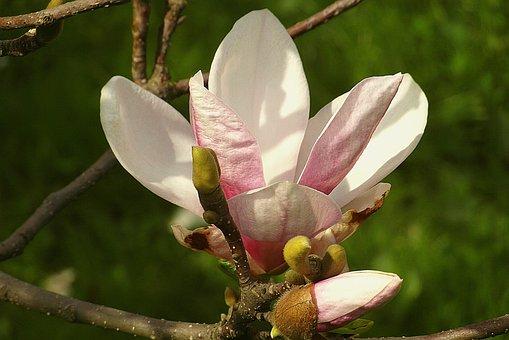 Magnolia Flower, Pink, Hot Pink, Garden, Flowers