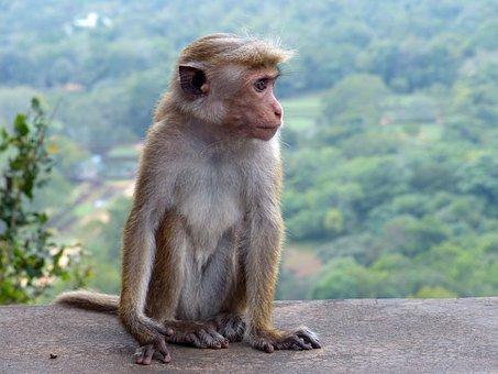 Monkey, Baby, Animal, Ape, Young