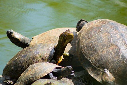 Hicotea, Turtle, Lake, Animals, Nature, Wild, Aquatic