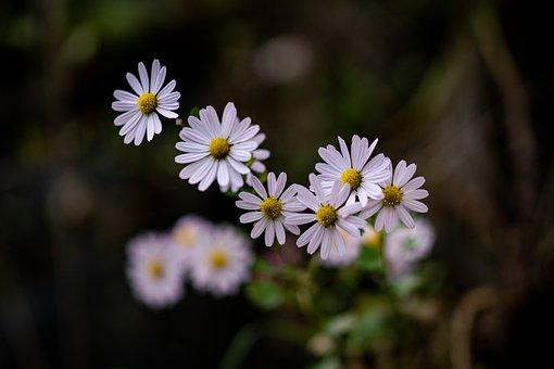 Wild Chrysanthemum, White, Flower, Plant, Nature