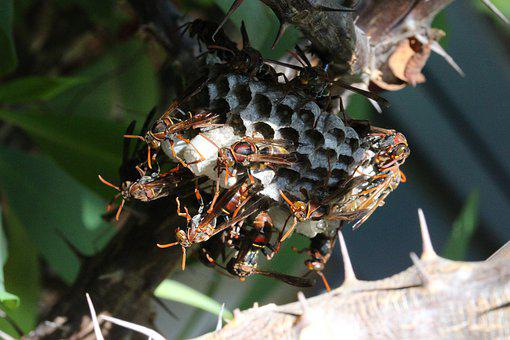 Paper Wasps, Working Together, Colony, Nest, Cells