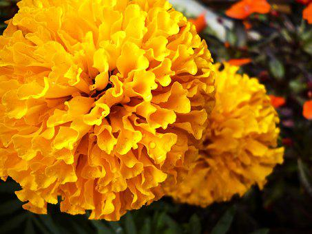 Flower, Garden, Nymphaea, Yellow, Orange