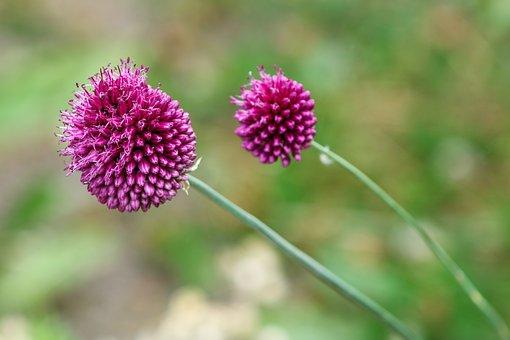 Ornamental Onion, Allium Stratos, Allium
