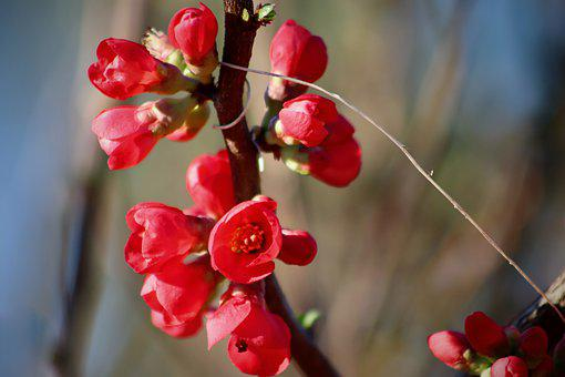 Ornamental Quince, Japanese Quince, Bill Quince