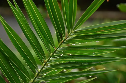 Palm Leaf, Water Drops, Palm Sunday, Religion