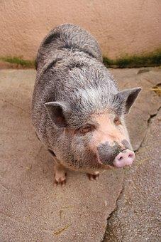 Pig, Farm, Animal, Pink, Mammals