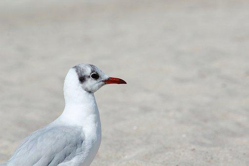 Seagull, Bird, Plumage, Feather, Bill