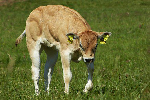 Calf, Meadow, Young Animal, Ruminant