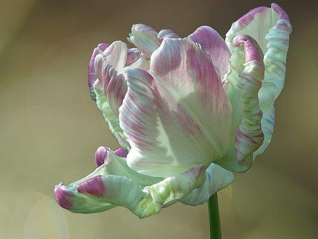 Parrot Tulip, Libretto Parrot, Spring, Green, White