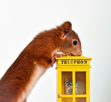 Squirrel, Phone, Phone Booth, Young Animal, Small