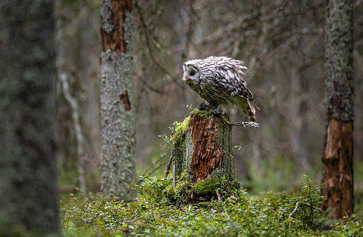 Strix Uralensis, Ural Owl, Bird Of Prey