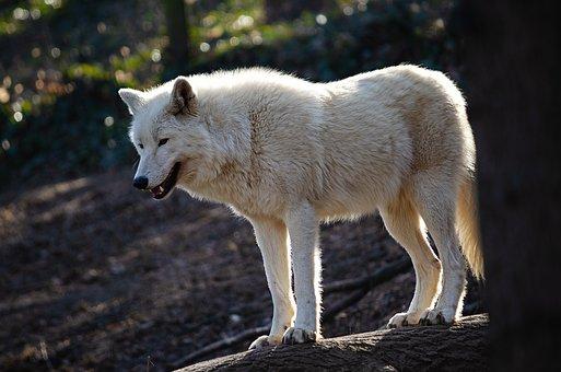 Wolf, Predator, Isegrim, Hunter, White, Arctic-wolf