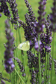 Gonepteryx Rhamni, Butterfly, Yellow, Lavender, Insect
