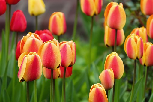 Tulips, Orange, Yellow, Red, Tulip Field