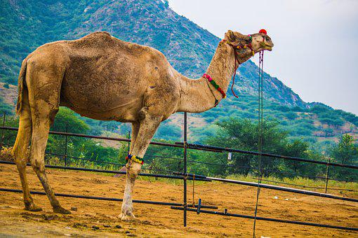Camel Standing, Surrounded By Mountain, Nature