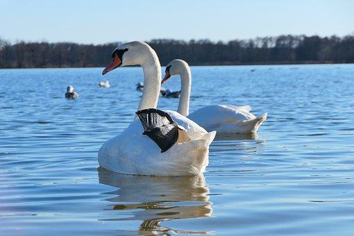 Mute Swan, Tom, Honor, Fin, Portrait, Charming, Beak
