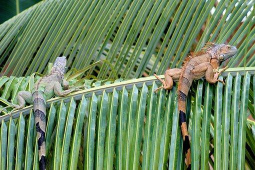 Iguana, Animal, Reptile, Creature, Tropical, Nature