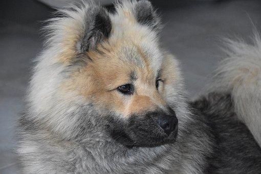 Dog, Dog Eurasier, Portrait Dog Profile, Dog Pure Breed