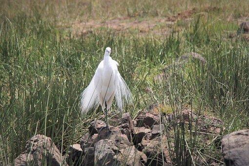 Silky, Plumage, Egret, Delicate, Wings, Dancer, Bird