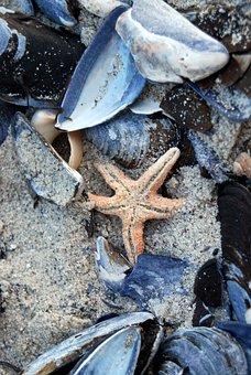Starfish, Sea, Shell, Beach, Ocean, Fish, Nature, Water