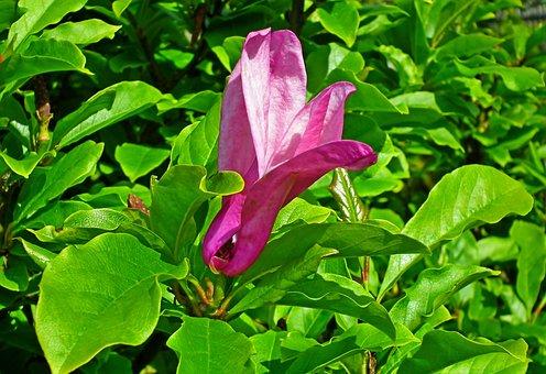 Magnolia, Flower, Pink, Spring, Plant