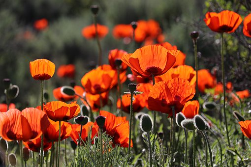 Remembrance Day, Poppy, Red, Flower, War, Poppies