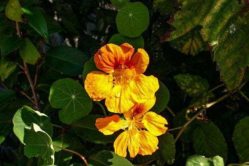 Nasturtium, Tropaeolum, Plant, Flowers, Garden, Summer