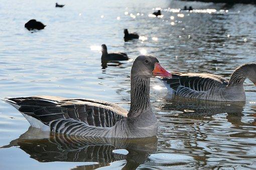 Goose In The Sun, Water Bird, Lake