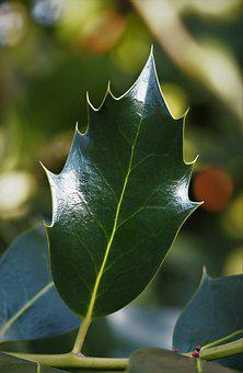 Plant, Holly, Leaf, Pointed, Green, Shiny, Smooth