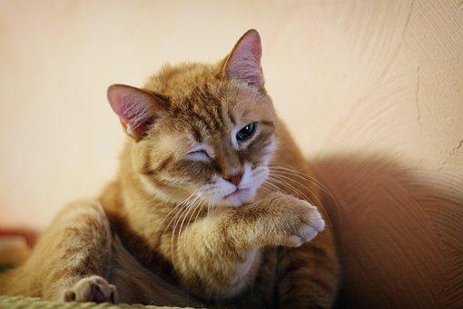 Cat, Kitten, Hangover, Predator, Portrait, Fur