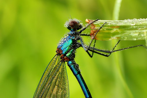 Dragonfly, Banded Demoiselle, Nature, Insect