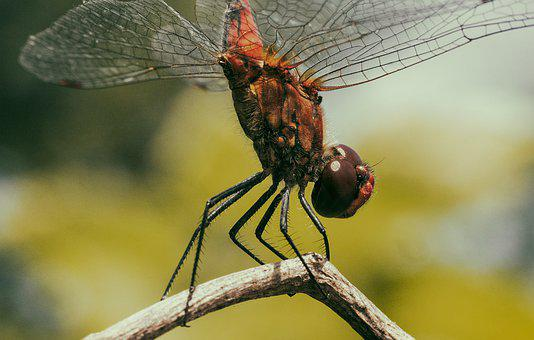 Dragonfly, Animals, Insects, Nature