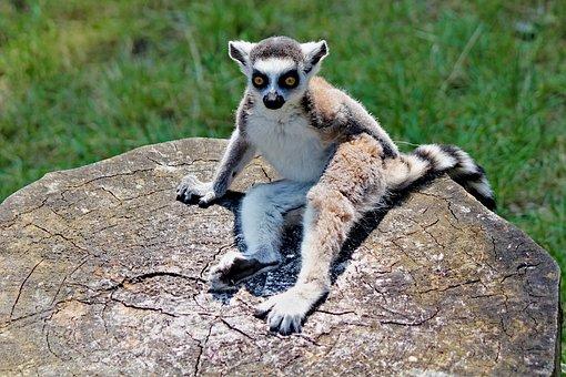 Lemur, Kata, Sitting, Prosimian, Primate