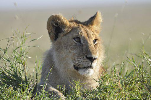 Lion, Tanzania, Safari, Africa, Animal, Wild, Mammal
