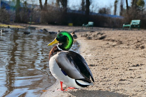 Mallard Duck, Tom, Coloration, Beautiful, Green, Beach