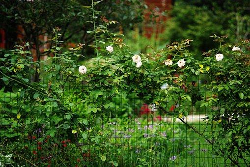 Rose, Summer, Green, Flowers, Natural, In Full Bloom