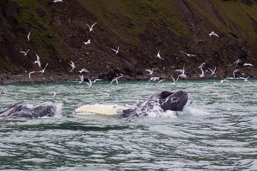 Whale, Humpback Whale, Ocean, Mammal, Sea, Humpback