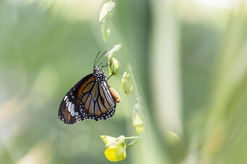 Common Tiger, Danaus Genutia, Butterfly, Thailand, Park