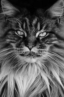 Cat, Main Coon, Black And White, Portrait, Kitty, Eyes