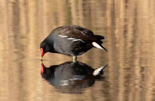 Moorhen, Reflection, Water, Black Bird, Water Fowl