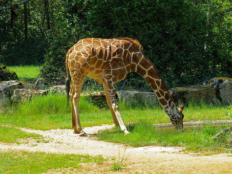 Animal World, Giraffe, Large, Reticulated Giraffe, Neck