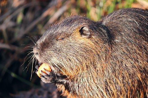 Nutria, Coypu, Myocastor Coypus, Rodent, Eat, Rat Tail