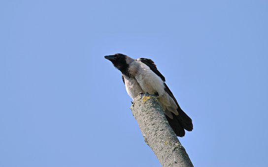 Bird, Crow, Plumage, Gray, Black, Seated, Branch